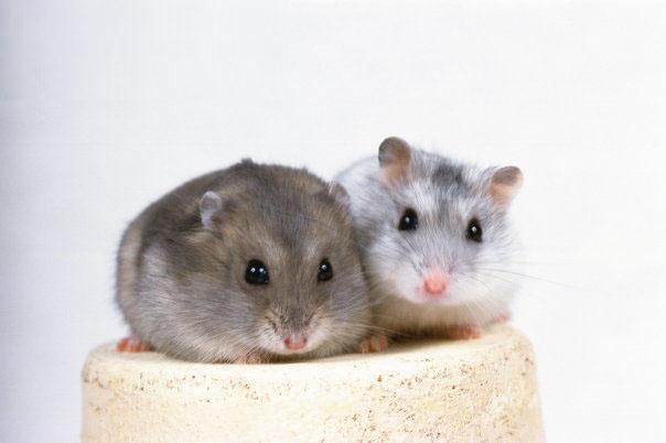 属鼠人的血型和性格