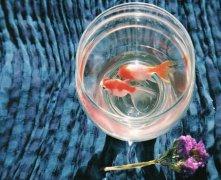 鱼缸里的鱼死了有什么预兆