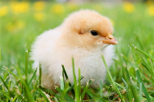 属鸡人怕什么生肖,属兔属狗属鸡