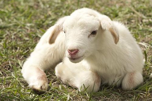 属羊人怕什么生肖,生肖牛生肖龙