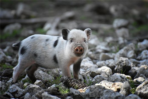 属猪适合做什么生意,餐饮业