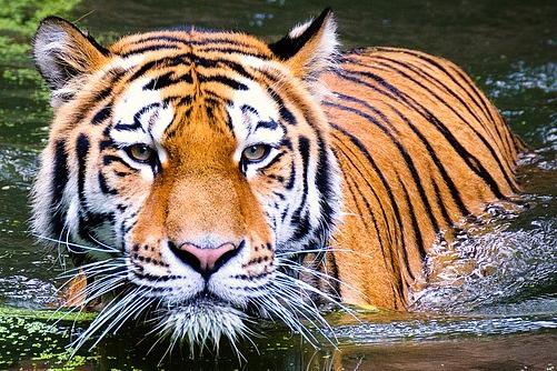 几月出生的虎是苦命虎,运势如何