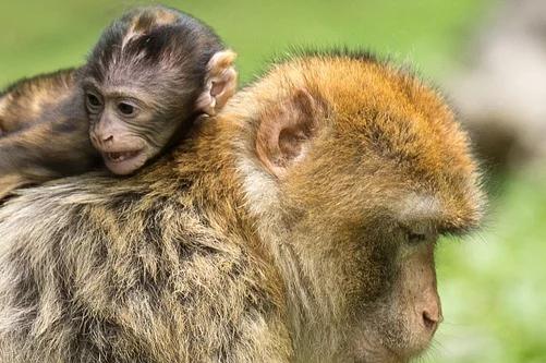 几月出生的猴是苦命猴,一月、六月、七月