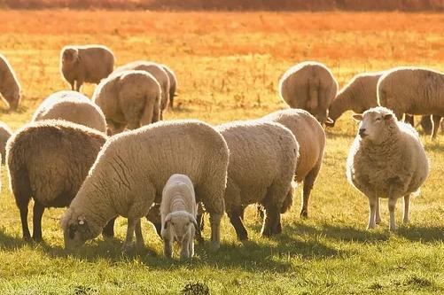 金命属羊的什么月份出生好命,四月、五月、八月